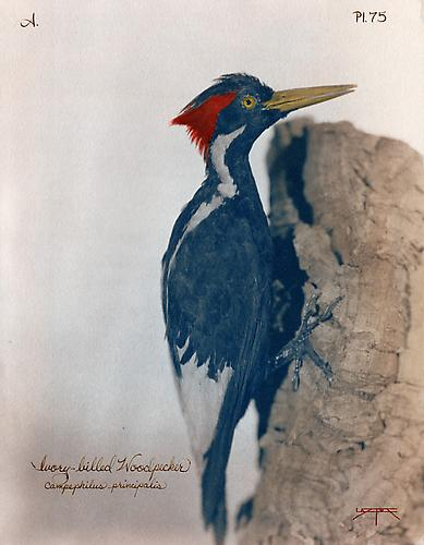 Ivory-Billed Woodpecker  2007 toned cyanotype with hand coloring