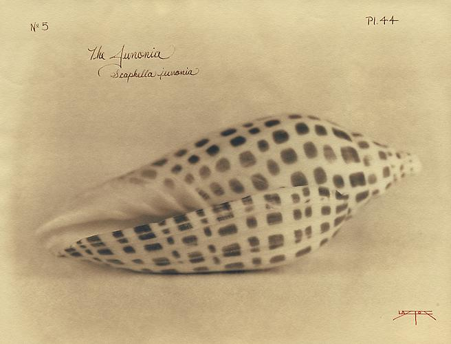 Junonia 2005 toned cyanotype with hand coloring