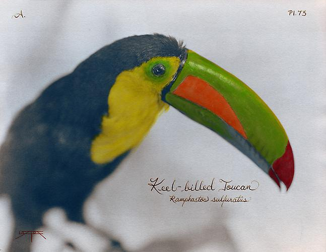 Keel-Billed Toucan 2007 toned cyanotype with hand coloring