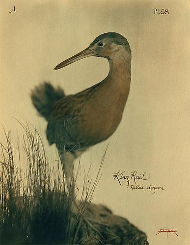 King Rail 2008 toned cyanotype with hand coloring