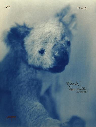 Koala 2005 toned cyanotype with hand coloring