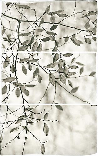 Late Leaves I 2011 Platinum Palladium