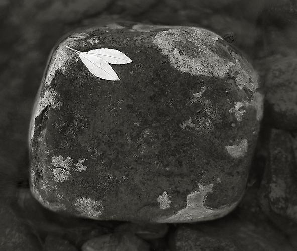 Leaves on Stone, Lemmenjoki 1989 gelatin silver print