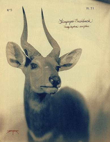 Limpopo Bushbuck 2005 toned cyanotype with hand coloring