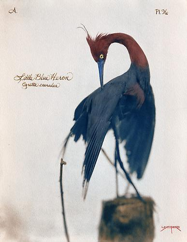 Little Blue Heron  2007 toned cyanotype with hand coloring