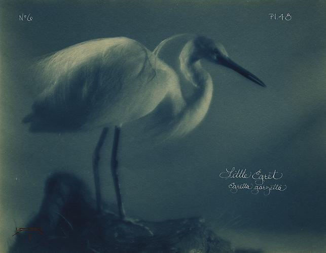 Little Egret 2005 toned cyanotype with hand coloring