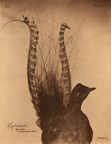 Lyrebird  2007 toned cyanotype with hand coloring