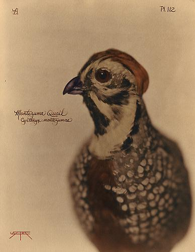 Montezuma Quail 2010 toned cyanotype with hand coloring