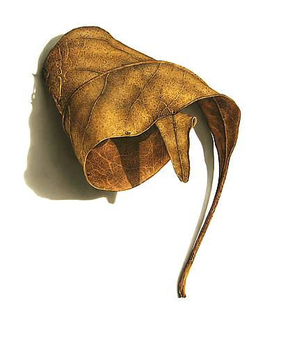 Rusted Leaf Series #3, 2006 Colored pencil on paper 19 1/8 x 15 1/4 inches