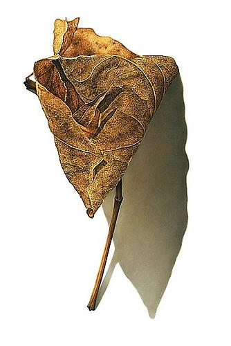 Rusted Leaf Series #1, 2006 Colored pencil on paper 28 x 22 inches