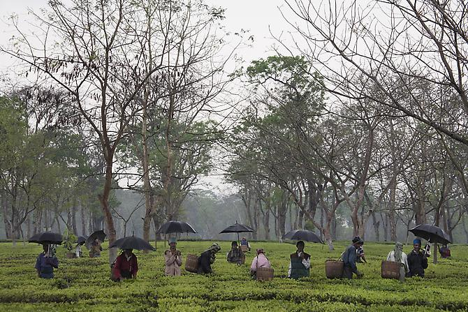 Nagaland Tea Plantation, 2008 Archival pigment print Edition of 10 20 x 30 inches