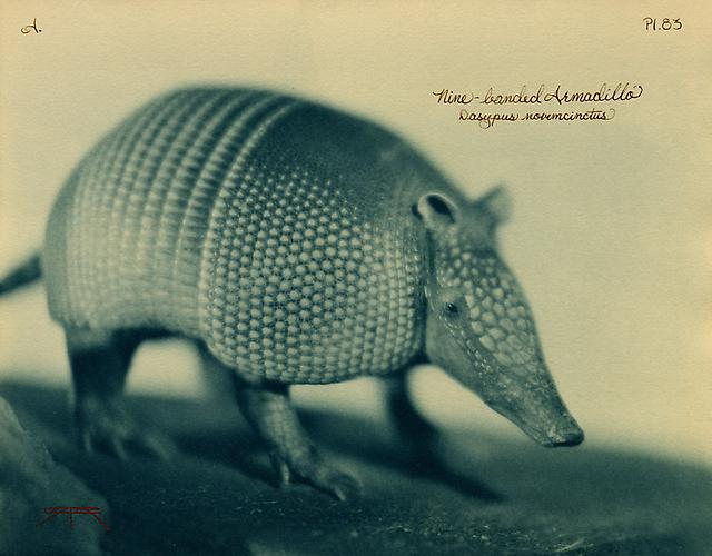 Nine-Banded Armadillo  2007 toned cyanotype with hand coloring