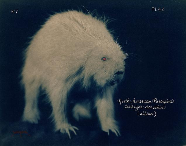 North American Porcupine  2005 toned cyanotype with hand coloring