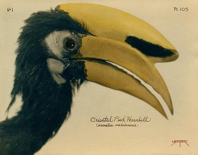 Oriental Pied Hornbill  2007 toned cyanotype with hand coloring