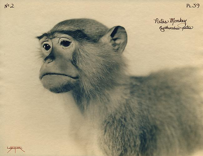 Patas Monkey  2003 toned cyanotype with hand coloring