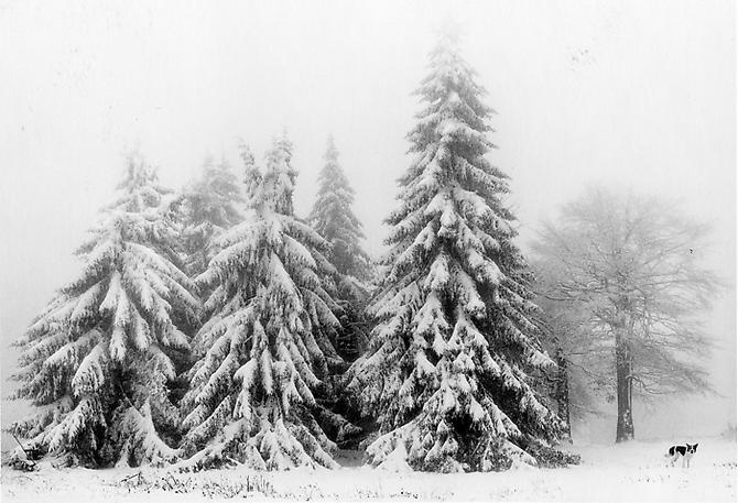 Petrohan, Bulgaria (Snow Covered Trees) 2003 Gelatin Silver Print