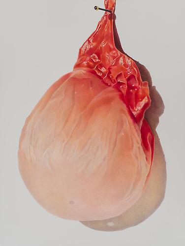 Pinned Apricot, 2013 colored pencil on paper 22 x 30 inches