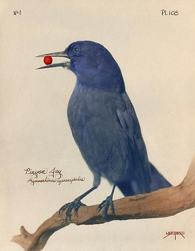 Pinyon Jay 2010 toned cyanotype with hand coloring