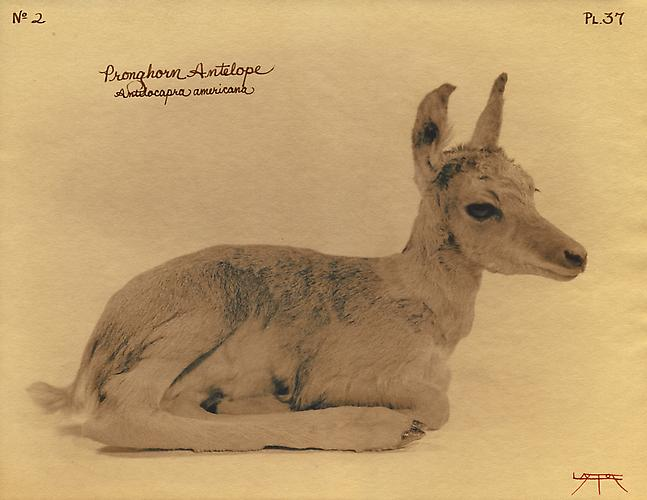 Pronghorn Antelope  2003 toned cyanotype with hand coloring