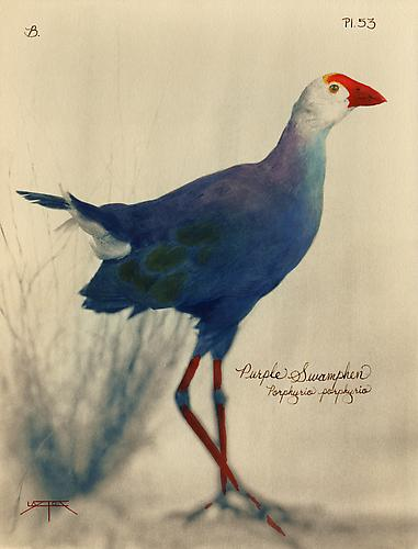 Purple Swamp hen  2005 toned cyanotype with hand coloring