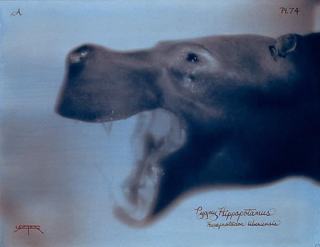 Pigmy Hippopotamus  2007 toned cyanotype with hand coloring