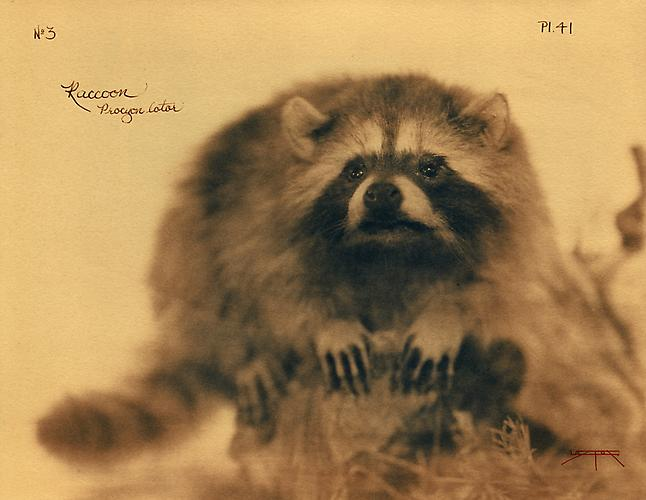Raccoon 2005 toned cyanotype with hand coloring