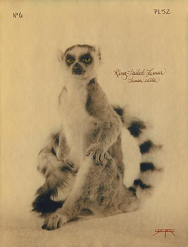 Ring-Tailed Lemur  2005 toned cyanotype with hand coloring