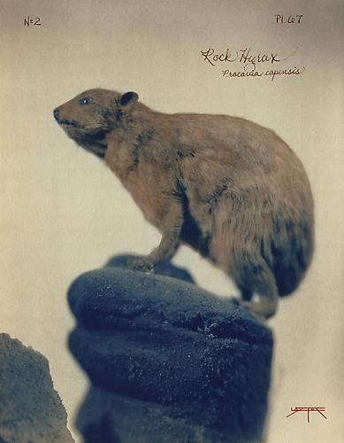 Rock Hyrax  2005 toned cyanotype with hand coloring