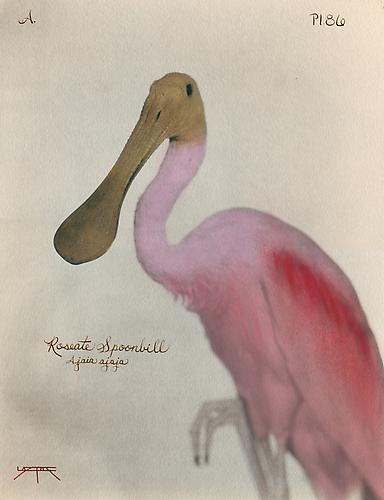 Roseate Spoonbill  2007 toned cyanotype with hand coloring