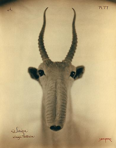 Saiga 2007 toned cyanotype with hand coloring