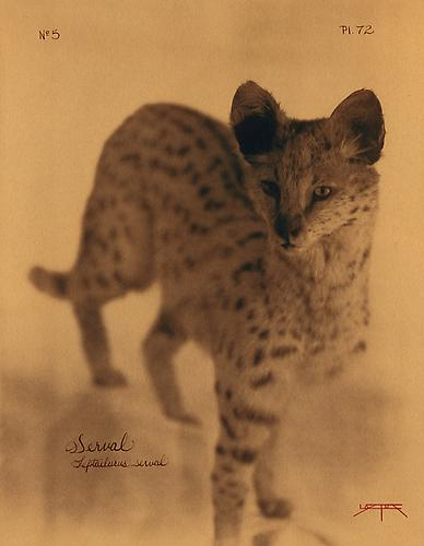 Serval  2005 toned cyanotype with hand coloring