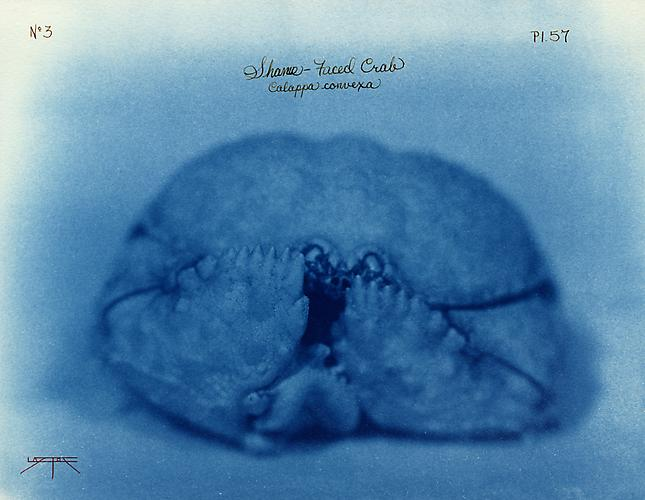 Shame-Faced Crab 2005 toned cyanotype with hand coloring