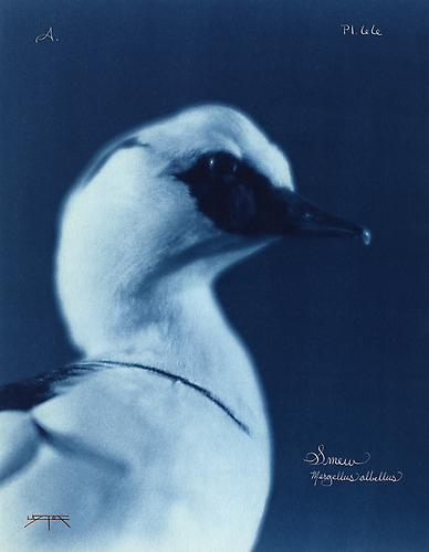 Smew  2005 toned cyanotype with hand coloring