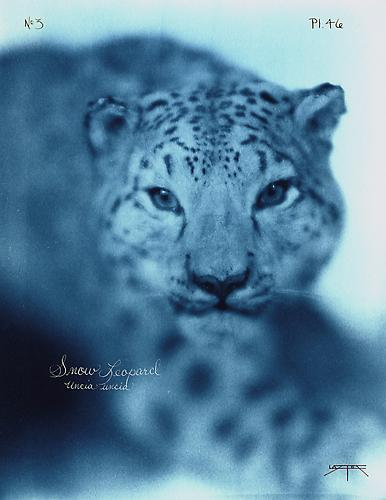 Snow Leopard  2005 toned cyanotype with hand coloring
