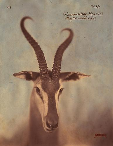 Soemmerrings Gazelle 2010 toned cyanotype with hand coloring