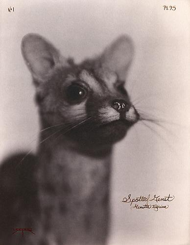 Spotted Genet  2007 toned cyanotype with hand coloring