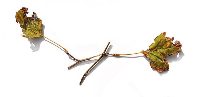 Sycamore Branches Series #2, 2012 Colored pencil on paper 10 x 21 inches
