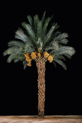 Tamar #1 (Date Palm) , 2011 C-Print 60 x 40.25 inches Edition of 6