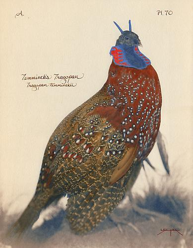 Temminck's Tragopan   2005 toned cyanotype with hand coloring