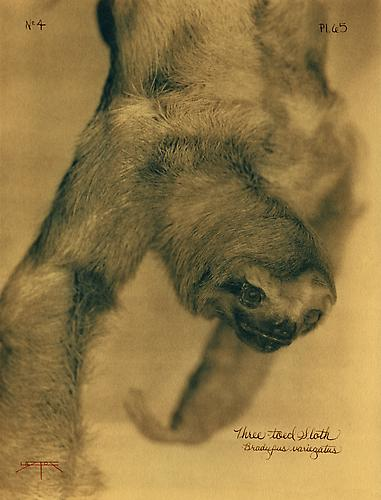 Three-Toed Sloth  2005 toned cyanotype with hand coloring
