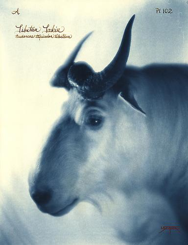 Tibetan Takin 2010 toned cyanotype with hand coloring