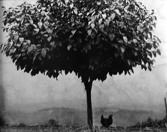 Tree and Chicken, France 1950 gelatin silver print