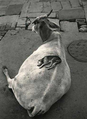 Varanasi, India (Dog on Cow) 1999 Gelatin Silver Print