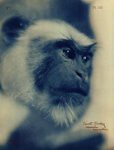 Vervet Monkey  2005 toned cyanotype with hand coloring