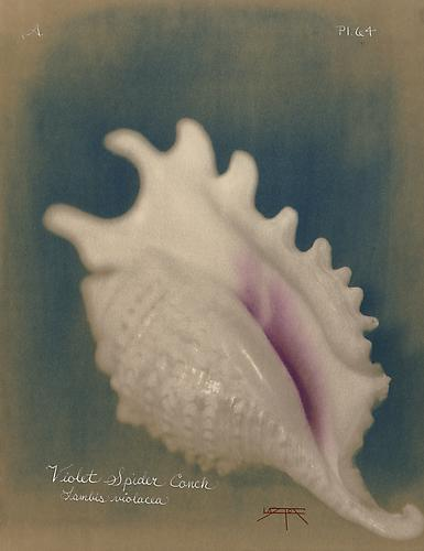 Violet Spider Conch  2005 toned cyanotype with hand coloring