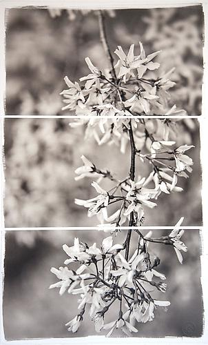 Weeping Cherry 2013 Platinum Palladium print