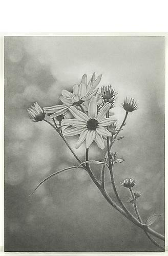 Wildflower, Central Park, 2011 Graphite on paper 18 x 13 3/8 inches