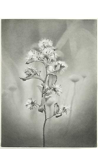 Wildflower, Jamaica Bay, 2011 Graphite on paper 18 x 13.375 inches
