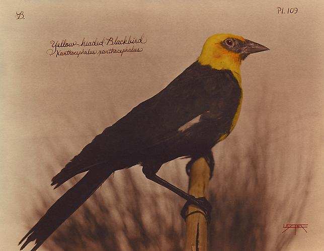 Yellowheaded Blackbird 2010 toned cyanotype with hand coloring