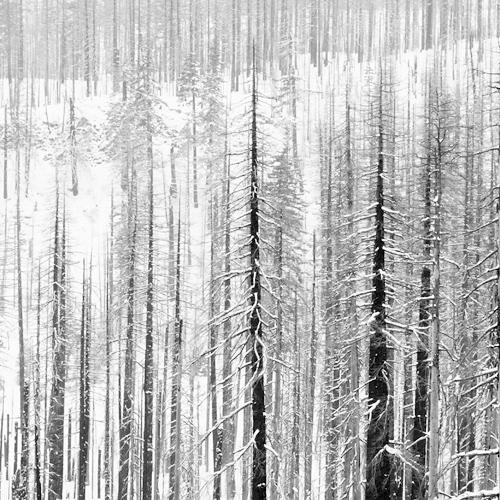 Burned Trees in Snow 2009 gelatin silver print